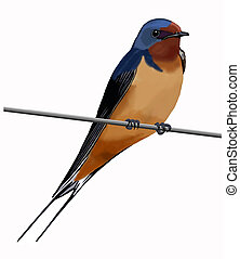 Barn Swallow on wire - Barn Swallow (Hirundo rustica) adult...