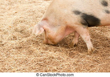 Foraging Pig - Photo of a foraging pig closeup