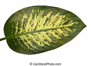 green leaf Dieffenbachia isolated on white background