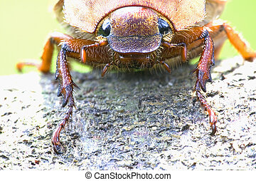 Tropical Rainforest Beetle - Tropical rainforest beetle in...