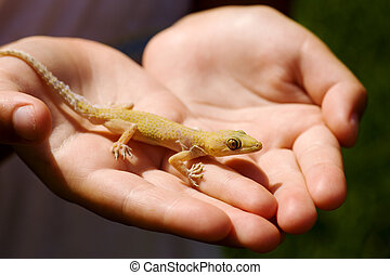 Child holding lizard - Child holding yellow lizard in his...