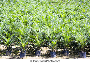 Oil Palm Seedlings - Oil palm seedlings ready for planting
