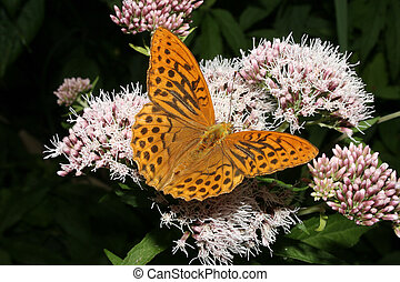 Silver-washed Fritillary (Argynnis paphia) - mal on a flower