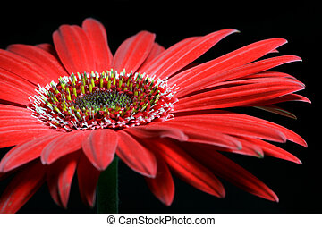 Red African Daisy - Red African daisy.