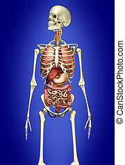 Man skeleton with internal organs