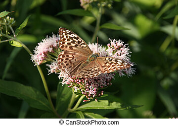 Silver-washed Fritillary (Argynnis paphia) - female on a...