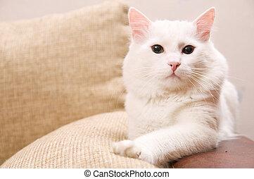 turkish angora - white turkish angora cat is at home