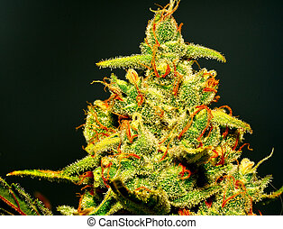 ripe bud - isolated marijuana flower with glistening...