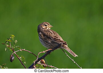 Corn Bunting green background - Corn Bunting a green...