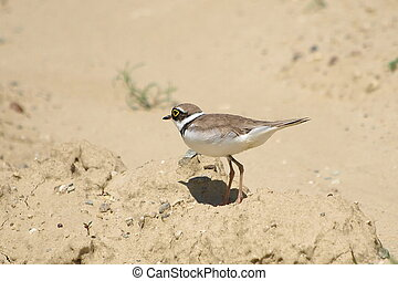 Little Ringed Plover, Charadrius dubius