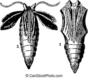 Opened and closed chrysalis engraving - Old engraving of two...