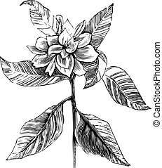 A common gardenia engraving illustration, in black and...
