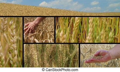Wheat Crop Composite - Golden wheat crop montage.