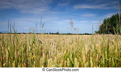 gold Field of wheat wave on the summer wind and blue sky