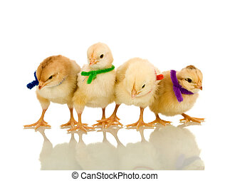 Small fluffy chickens with colorful scarves - isolated with...