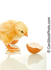 Small fluffy chicken with broken egg shell - isolated