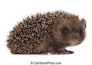 hedgehog - small grey prickly hedgehog looks at me