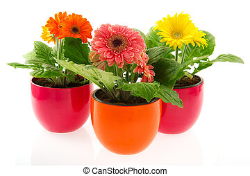 Colorful Gerber in row pots - Colorful Gerber plants in row...