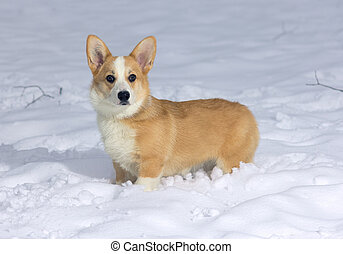 Pembroke Welsh Corgi - Dog breed Pembroke Welsh Corgi in...