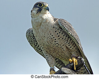 Gyrfalcon - A Gyrfalcon Scientific Name Falco Rusticolus