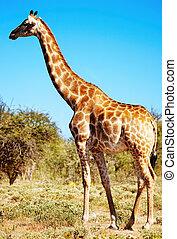 salvaje, jirafa
