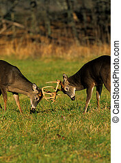 Whitetails Doing Battle - a pair of whitetail bucks fighting...