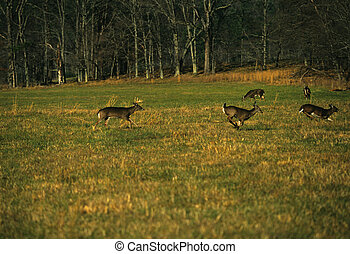 Whitetails Chasing in Rut - a whiteatil buck chasing does...