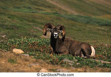 Bedded Bighorn Ram