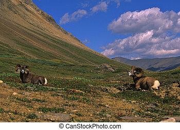 Bedded Bighorn Rams