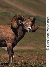 Bighorn Sheep Ram - close up of a nice bighorn sheep ram