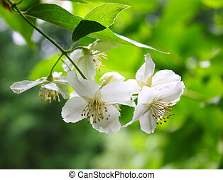 Philadelphus - Branch of a blossoming philadelphus (jasmin)...