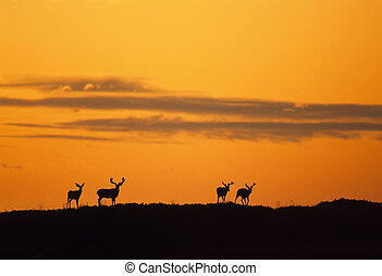 Mule Deer Bucks in Sunset - mule deer bucks silhouetted in...
