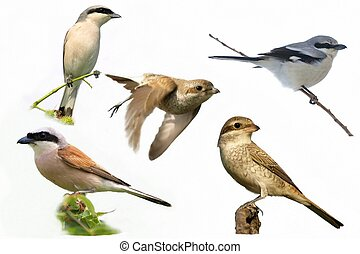 Collection Shrike bird isolated - Collection Shrike,...