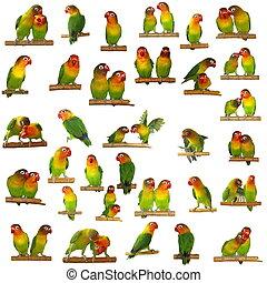 Conjunto, lovebirds, aislado