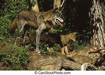 Female Wolf With Pups - a female wolf interacting with her...