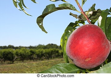 Peach Picking Time - Delicious ripe peach ready to be picked...