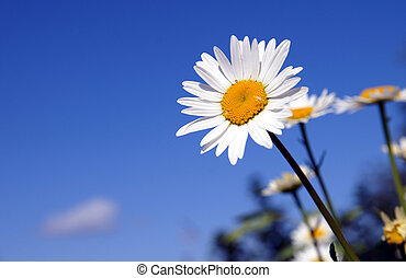 A sunny daisy on a blue sky background - One bright daisy or...
