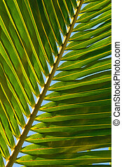 leaf of coconut palm tree