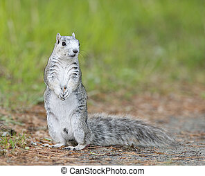 Delmarva Peninsular Fox Squirrel - Endangered Delmarva...