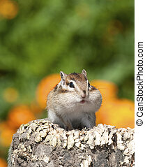Siberian Chipmunk on log with flowers and green plants in...
