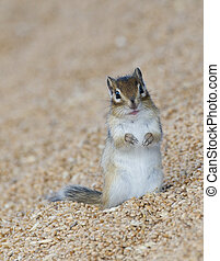 Harvested Wheat - Stored wheat with rodent Siberian Chipmunk...