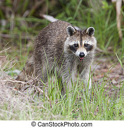 Raccoon with green grass background