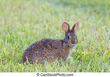 Marsh Rabbit in tall green grass