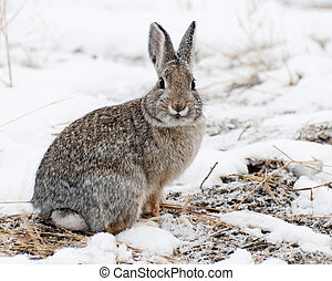 Mountain Cottontail in snow at Yellowstone National Park