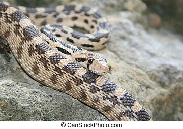 gopher snake - closeup of gopher snake (Pituophis catenifer)...