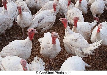 white turkeys - a flock of white turkeys in a turkey farm