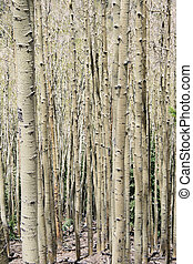 aspen trunks - vertical image of aspen Populus tremuloides...