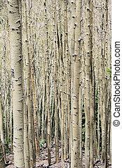 aspen trunks - vertical image of aspen (Populus tremuloides)...