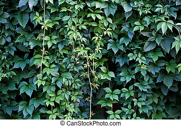 Hedgerow - Green wall background. A lot of leaves.
