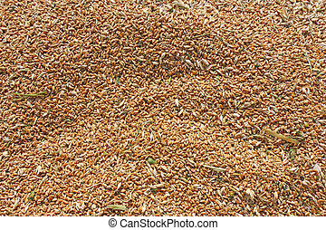 Ear of Wheat  - Ear of wheat, agriculture background